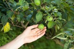 Unripe apples in orchard Stock Image