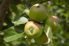 Unripe apples on tree Stock Photos