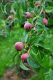 Unripe apples on tree Stock Photo