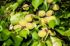 Unripe apricots Royalty Free Stock Image