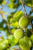 Unripe apricots Stock Photography