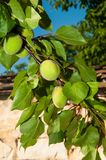 Unripe apricots Stock Photos