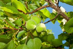 Unripe apricots Stock Image