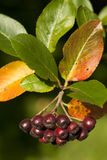 Unripe aronia. Cluster unripe aronia (Aronia arbutifolia) on branch Stock Images