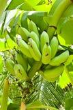 unripe banan Arkivbild