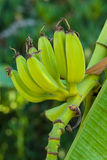 Unripe banana fruits. Stock Image
