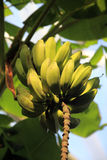 Unripe bananas. A bunch of unripe bananas hanging from a banana plant royalty free stock photos