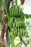 Unripe bananas in the jungle close up Royalty Free Stock Image