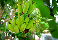 Unripe bananas in the jungle. Unripe bananas in the jungle, soft focus Royalty Free Stock Image