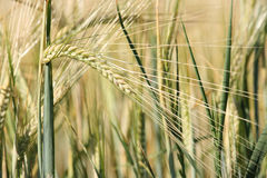 Unripe barley. Rural background: close-up of unripe barley plants in the field Stock Photography
