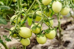 Unripe beautiful tomatoes on a branch in greenhouse. Organic home production of food.  stock photo