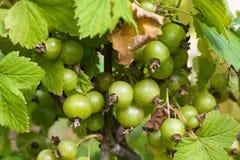 Unripe berries of black currant Stock Images