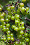 Unripe berries of black currant in the garden Stock Photos