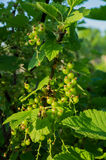Unripe berries of black currant Stock Image