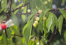 Unripe berries cherries are processed pesticides Royalty Free Stock Photography