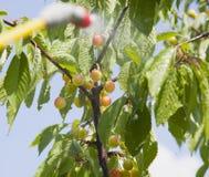 Unripe berries cherries are processed pesticides Stock Image