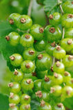 Unripe berries of red currant Stock Photos