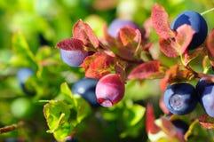 Unripe bilberry Stock Photo