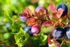 unripe blåbär Arkivfoto