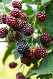 Unripe blackberries. Royalty Free Stock Photography