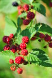 Unripe blackberries - blackberry plant Stock Photos