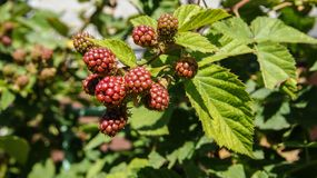 Unripe blackberries on the bush stock images