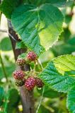 Unripe blackberries, Close-up. royalty free stock image