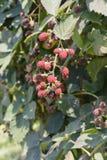 Unripe blackberries Royalty Free Stock Photos