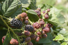 Unripe blackberries Stock Images