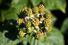 Unripe blackberries (Rubus fruticosus) Royalty Free Stock Images