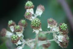 Unripe blackberries Stock Image