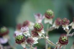 Unripe blackberries Royalty Free Stock Image