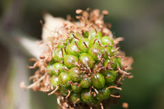 Unripe blackberry Royalty Free Stock Photos
