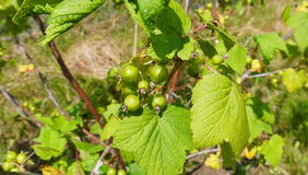 Unripe blackcurrant. Berries among leaves on the bush Royalty Free Stock Image