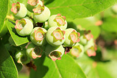 Unripe blue berry Stock Images