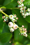 Unripe blueberries on on a blueberry bush Stock Images