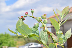 Unripe blueberries. Close up of unripe blueberries on the plant Stock Photos