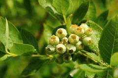 Unripe blueberries with dew Royalty Free Stock Images