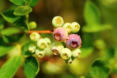 Unripe blueberries with dew Stock Images