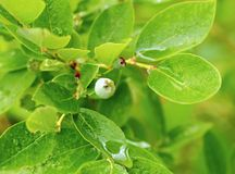 Unripe blueberries with dew Stock Photography