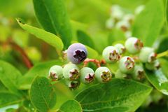 Unripe blueberries Royalty Free Stock Image