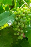 Unripe bunch of green grapes closeup Royalty Free Stock Photo