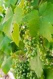 Unripe bunch of green grapes closeup Stock Photography