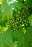 Unripe bunch of green grapes closeup Stock Image