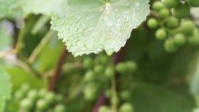 Unripe bunch of green grapes after rain. Unripe bunch of green grapes after rain stock video