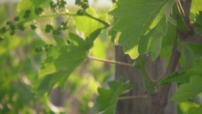 Unripe bunches of grapes with green leaves slow motion. Unripe bunches of grapes on a young vine with green leaves with beautiful sun rays slow motion stock video footage