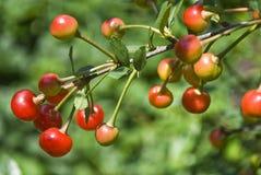 Unripe cherries Stock Image