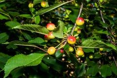 Unripe cherries - detail Stock Photography