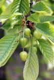 Unripe cherries Stock Images