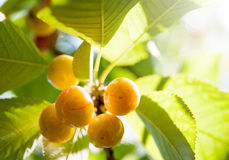 Unripe cherries Stock Photos